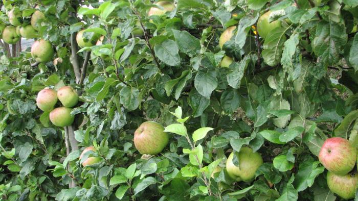 Mt Cook apples